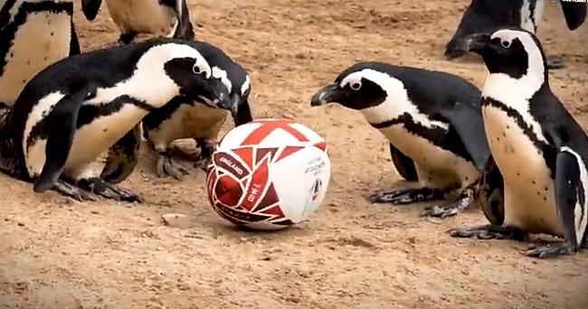 Пингвины Южного Полушария